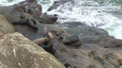 Harbor Seals on Pacific Ocean Coastline