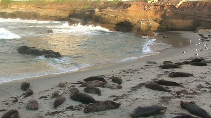 Harbor Seals on La Jolla Cove Beach in San Diego Area