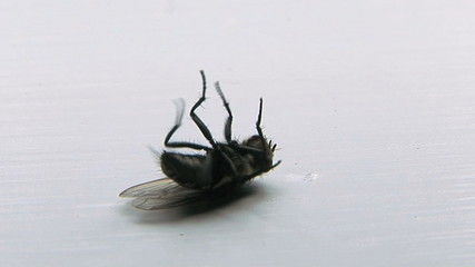 Dying Fly
