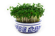 Cress in the pot
