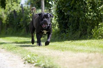 chien cane corso bringé trottant au bord d'un chemin