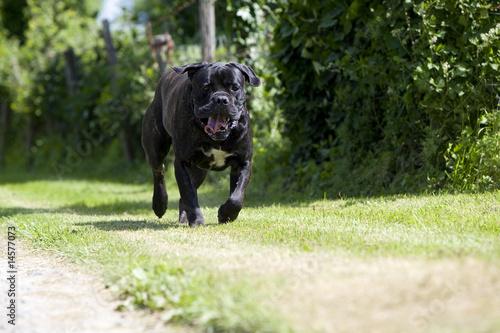 Chien cane corso dangereux