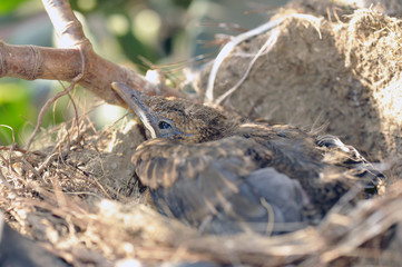 The last blackbird of a brood to leave the nest