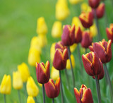red tulips, very shallow focus