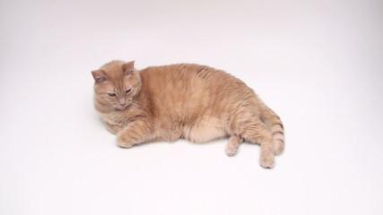 Orange cat napping - HD