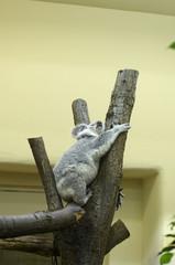 Australian koala in Tiergarten (Vienna zoo)
