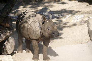Big young rhino in Tiergarten (Vienna zoo)