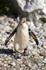 The Humboldt Penguin AKA Peruvian in Tiergarten (Vienna zoo)
