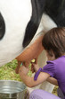 Child milking a cow