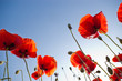 red poppies on sky