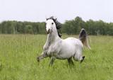 purebred arab stallion poster
