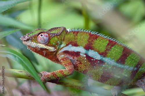 Staande foto Kameleon Chameleon