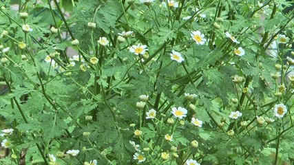 Erba aromatica con fioritura