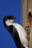 Tree Swallow With Insects poster