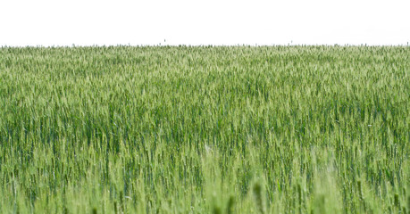 Wheat field on white background.