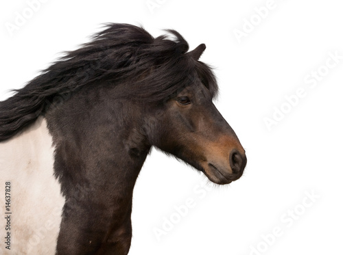 portrait of galloping pony stallion isolated on white