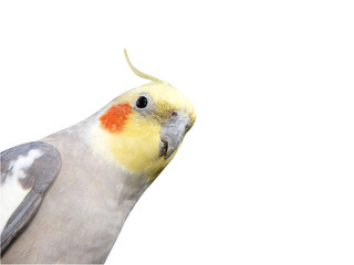 Cheeky Cockatiel with Copy space