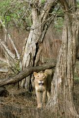 Lioness with Habitat