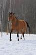 bay horse trors in field