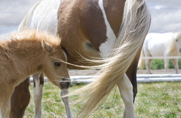 Miniature Horse Foal Standing Beside Mother
