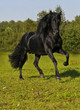 Quadro The free black horse runs gallop on the field