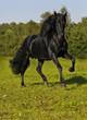 Quadro The free black horse runs gallop on the field