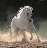 white horse runs gallop in dust - Fine Art prints