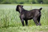žíhaný pes Cane Corso zpět hledat daleko