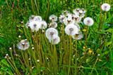 Fluffy dandelions poster