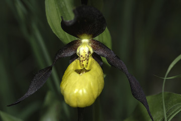 Frauenschuh, Cypripedium calceolus, Orchidaceae