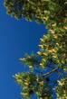 Pine tree blossom