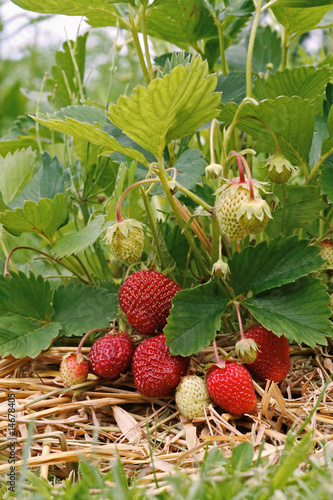 strawberry plant and fruit 2