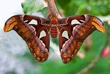 Small emperor moth (butterfly)