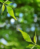 Fresh leaves and defocused background poster