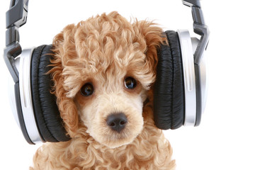 Apricot poodle puppy listening to music on headphones.