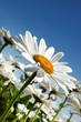 Daisy against blue sky background