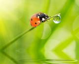 Fototapety ladybug