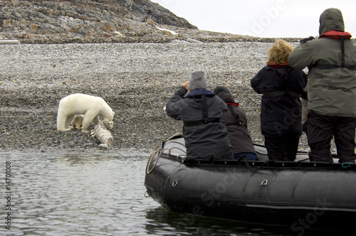 Polar Bear eating a whale