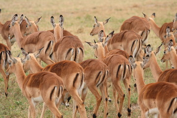 Impala herd in Sabi Sand