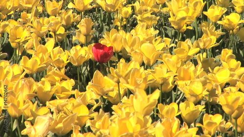Single red tulip in field of yellow tulips