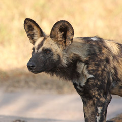 Wild dogs in Soouth Africa