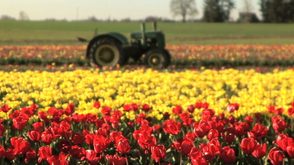 Tractor in a tulip field