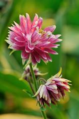 Pink doubled columbine flower