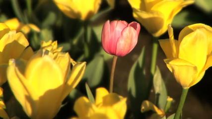 Pink Tulip in Tulip Field
