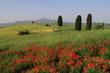 Landschaft,Mohnfelder,Wolkenhimmel,Toskana,Val d Orcia,Italien