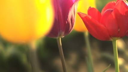 Profile of tulips