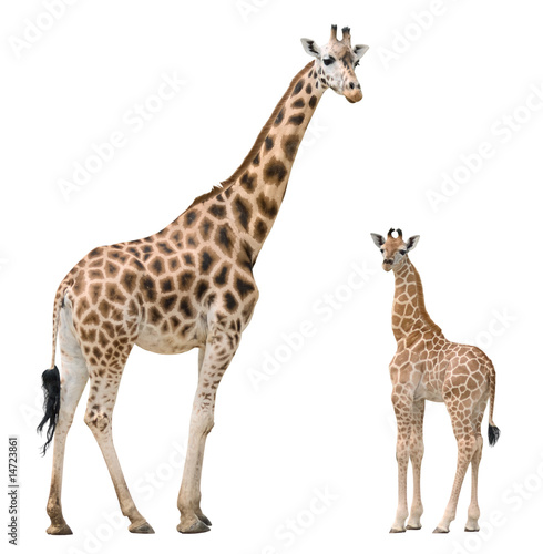 Keuken foto achterwand Giraffe Giraffe mother and baby