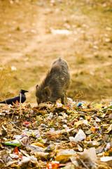 Swine in Trash