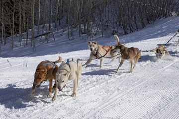 Dog Sled Team In Training