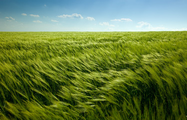 green wheat field and cloudy sky